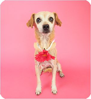 Chihuahua/Miniature Pinscher Mix Dog for adoption in Phoenix, Arizona - Butterscotch