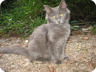 Domestic Mediumhair Cat for adoption in Gainesville, Virginia - Flosse