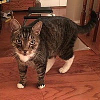 Domestic Shorthair Cat for adoption in Herndon, Virginia - Broffie