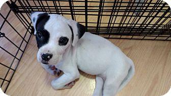 Boxer/Labrador Retriever Mix Puppy for adoption in Hainesville, Illinois - Zee