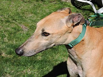 Greyhound Dog for adoption in Canadensis, Pennsylvania - Heron