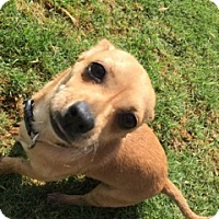 Chihuahua Mix Puppy for adoption in Lubbock, Texas - Gilmore