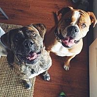 American Bulldog/American Bulldog Mix Dog for adoption in Costa Mesa, California - Jezebel and Jewel