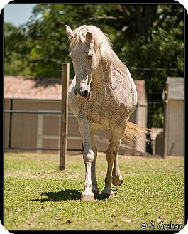 Tennessee Walking Horse/Grade Mix for adoption in Cantonment, Florida - Dixie