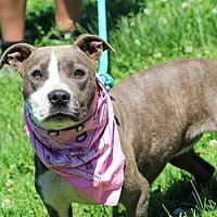 Pit Bull Terrier Mix Dog for adoption in Anderson, Indiana - Lady