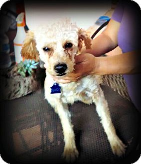 Poodle (Miniature) Mix Dog for adoption in Tijeras, New Mexico - Quincy