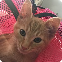Adopt A Pet :: Nugget - Scottsdale, AZ