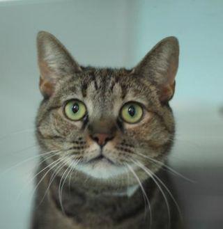 Domestic Shorthair/Domestic Shorthair Mix Cat for adoption in Spartanburg, South Carolina - Sassy