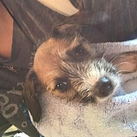 Adopt A Pet :: Blossum - Lancaster, KY