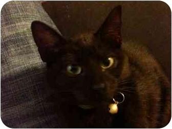 Domestic Shorthair Cat for adoption in Davis, California - Sierra