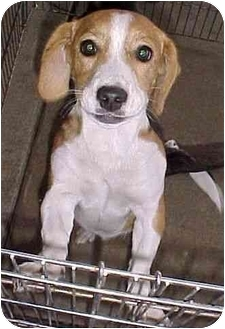 Beagle Mix Puppy for adoption in North Judson, Indiana - Okie
