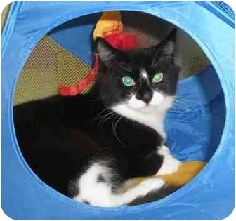Domestic Shorthair Kitten for adoption in Medford, Massachusetts - Safari