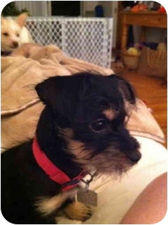 Schnauzer (Miniature)/Yorkie, Yorkshire Terrier Mix Puppy for adoption in Brecksville, Ohio - Bella/IN PENNSYLVANIA