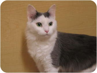 Domestic Mediumhair Cat for adoption in Worcester, Massachusetts - Cotton