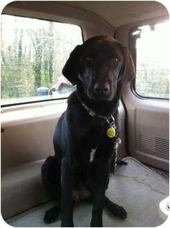 Labrador Retriever Mix Dog for adoption in PORTLAND, Maine - Jett