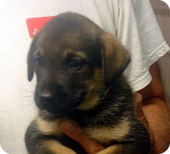 German Shepherd Dog/Labrador Retriever Mix Puppy for adoption in Manassas, Virginia - Indian