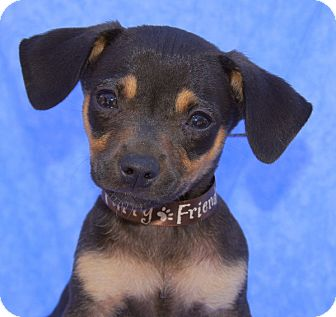 Chihuahua Mix Puppy for adoption in Thousand Oaks, California - Jimi