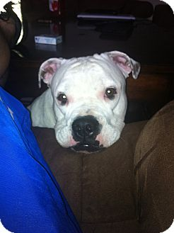 American Bulldog/American Pit Bull Terrier Mix Dog for adoption in Fort Valley, Georgia - Duke