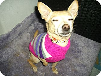 Chihuahua Mix Dog for adoption in Sheridan, Oregon - Susie