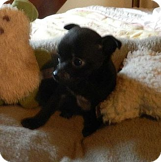 Chihuahua Mix Puppy for adoption in Staunton, Virginia - Barbie