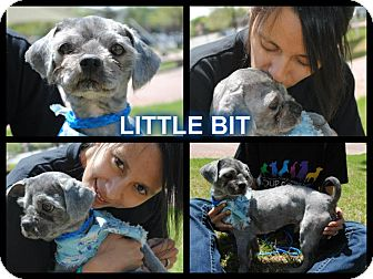 Shih Tzu Mix Dog for adoption in East Hartford, Connecticut - little bit in CT