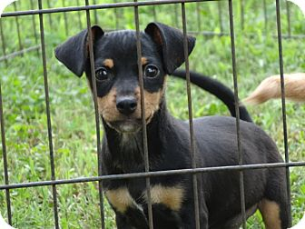 Dachshund/Chihuahua Mix Puppy for adoption in Syacuse, New York - Rottie