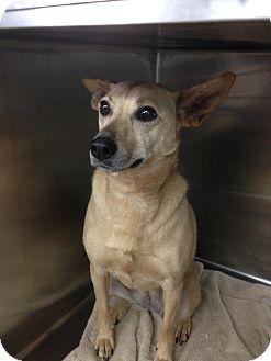 Shepherd (Unknown Type) Mix Dog for adoption in Alpharetta, Georgia - Angel