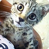 Adopt A Pet :: Despereaux - Island Park, NY