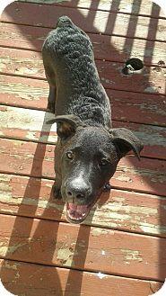 Labradoodle/Labrador Retriever Mix Puppy for adoption in Milan, Michigan - Sweetie