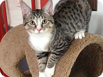 Domestic Shorthair Kitten for adoption in Topeka, Kansas - Dharma