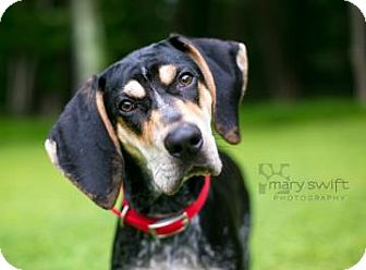 Bluetick Coonhound Dog for adoption in Reisterstown, Maryland - Joey