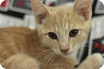 Domestic Shorthair Kitten for adoption in Sacramento, California - Garfunkle