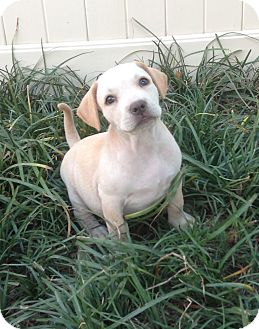 Labrador Retriever Mix Puppy for adoption in Dallas, Texas - Patsy - guest