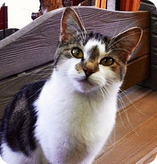 Domestic Shorthair Cat for adoption in Battle Creek, Michigan - Penny