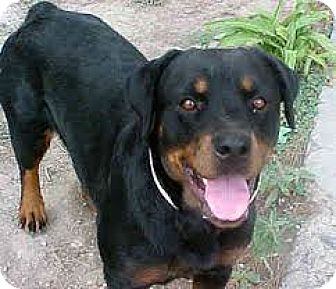 Rottweiler Dog for adoption in Irmo, South Carolina - Elsie