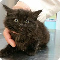 Adopt A Pet :: bINKETTE - Whitestone, NY
