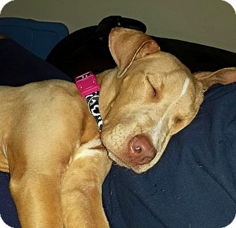 American Pit Bull Terrier/Pharaoh Hound Mix Dog for adoption in Coral Springs, Florida - Leia