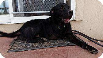 Labrador Retriever Mix Dog for adoption in Evergreen, Colorado - Bingo