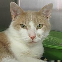 Domestic Shorthair Cat for adoption in Elkins, West Virginia - Garfield