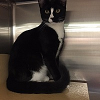Domestic Shorthair Cat for adoption in Morganton, North Carolina - Mikey