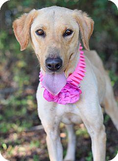 Labrador Retriever Mix Dog for adoption in Denver, Colorado - Carolyna