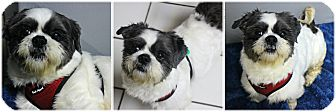 Shih Tzu Dog for adoption in Forked River, New Jersey - Fresno