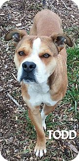 Boxer Mix Dog for adoption in Lapeer, Michigan - TODD--BOXER MIX--AVAIL 12/16