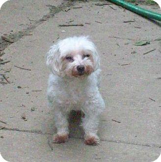 Maltese Dog for adoption in Buffalo, New York - Tessa