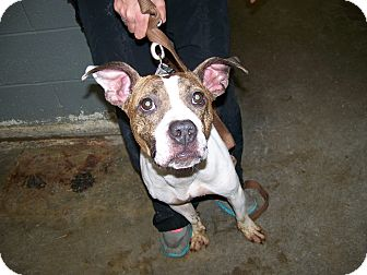Pit Bull Terrier Mix Dog for adoption in Anderson, Indiana - Diva