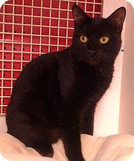 Domestic Shorthair Cat for adoption in Richmond, Virginia - Ezio
