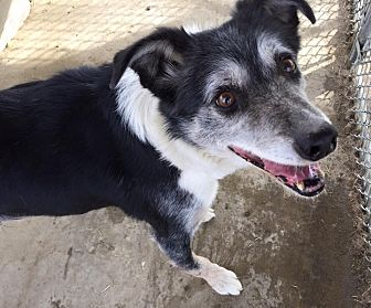 Border Collie Dog for adoption in Phelan, California - Jake