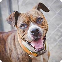Adopt A Pet :: Scarlet - East McKeesport, PA