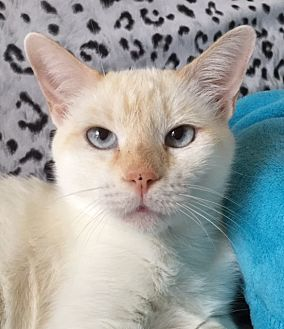 Siamese Cat for adoption in Houston, Texas - Sasha