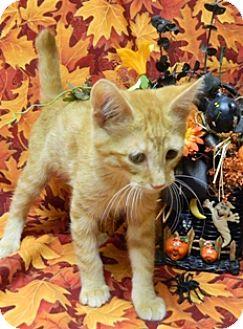 Domestic Shorthair Cat for adoption in Columbus, Nebraska - Pringles